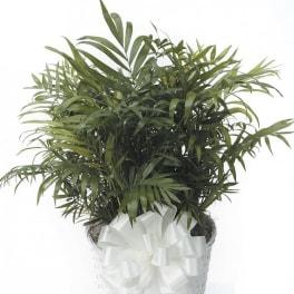 Medium Parlor Palm