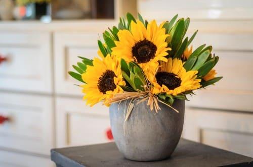 repot sunflower