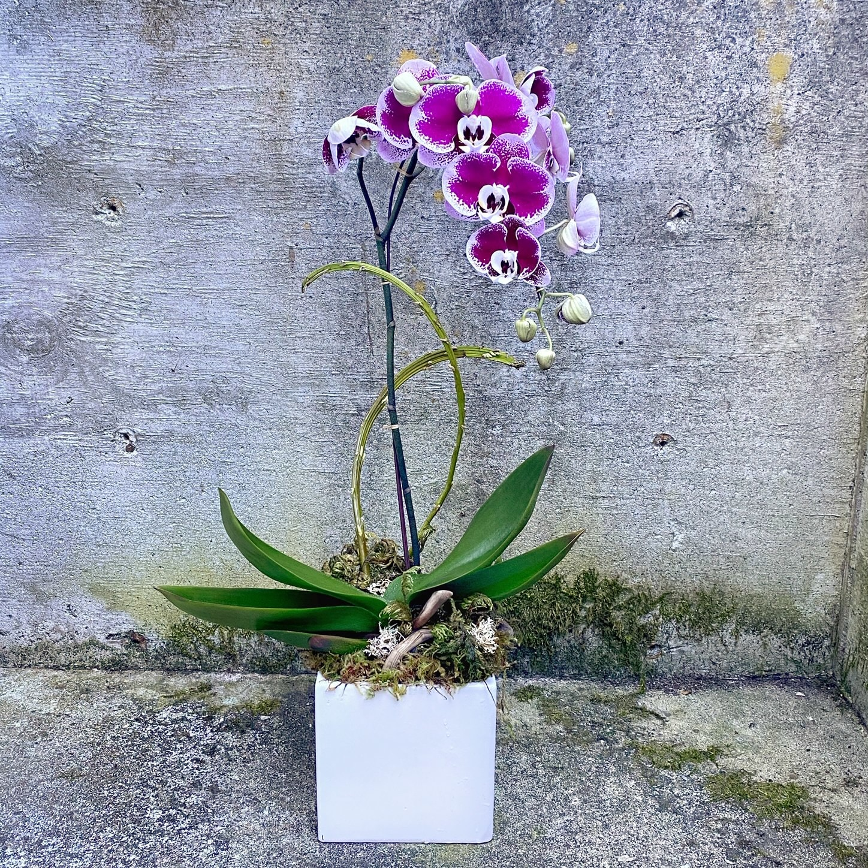 Color Phalaenopsis Orchid Plant in Seattle, WA | Fiori ...