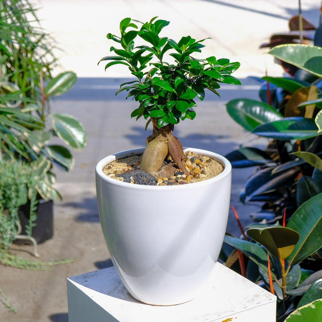 Ginseng Ficus Bonsai In Los Angeles Ca Wowsome Blossom