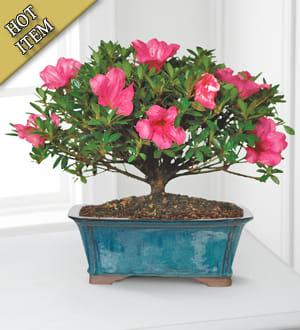 Blooming Azalea Bonsai 10 Inches In Vicksburg Ms Hall S Gifts Treasures