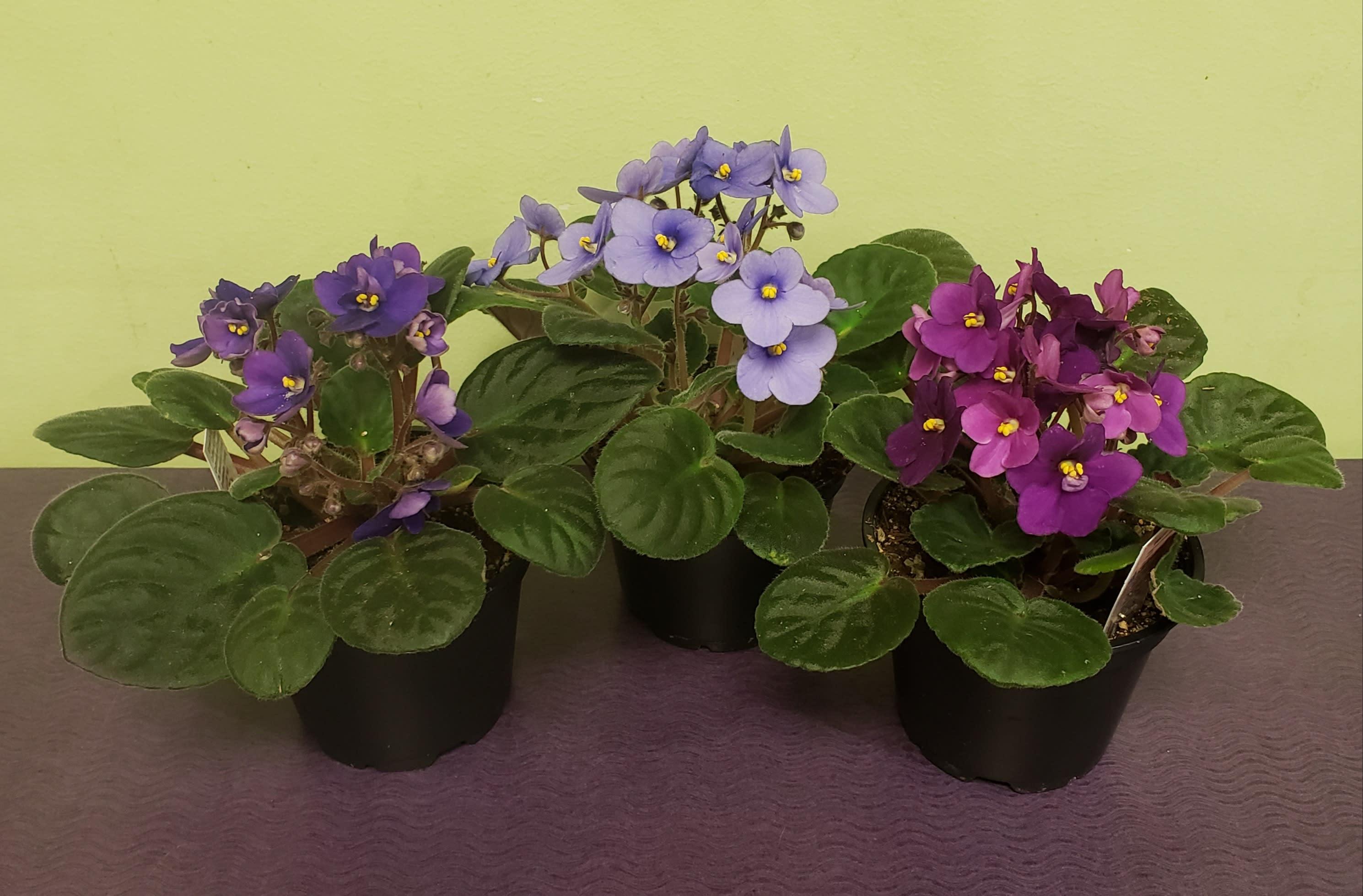 African Violet Plant In Philadelphia Pa Philadelphia Flower Market