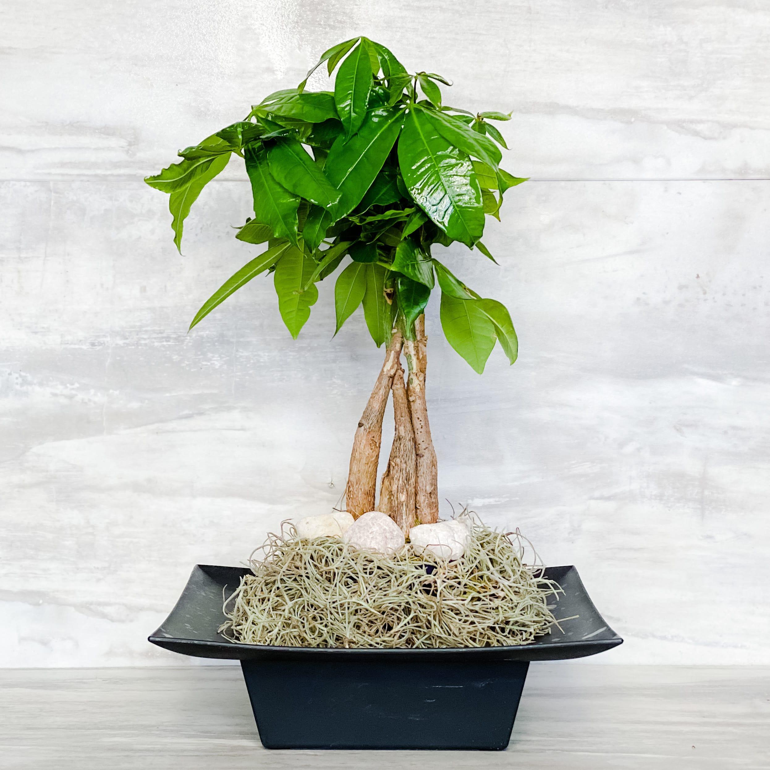 Money Tree Zen In Fort Lauderdale Fl Dgm Flowers Events