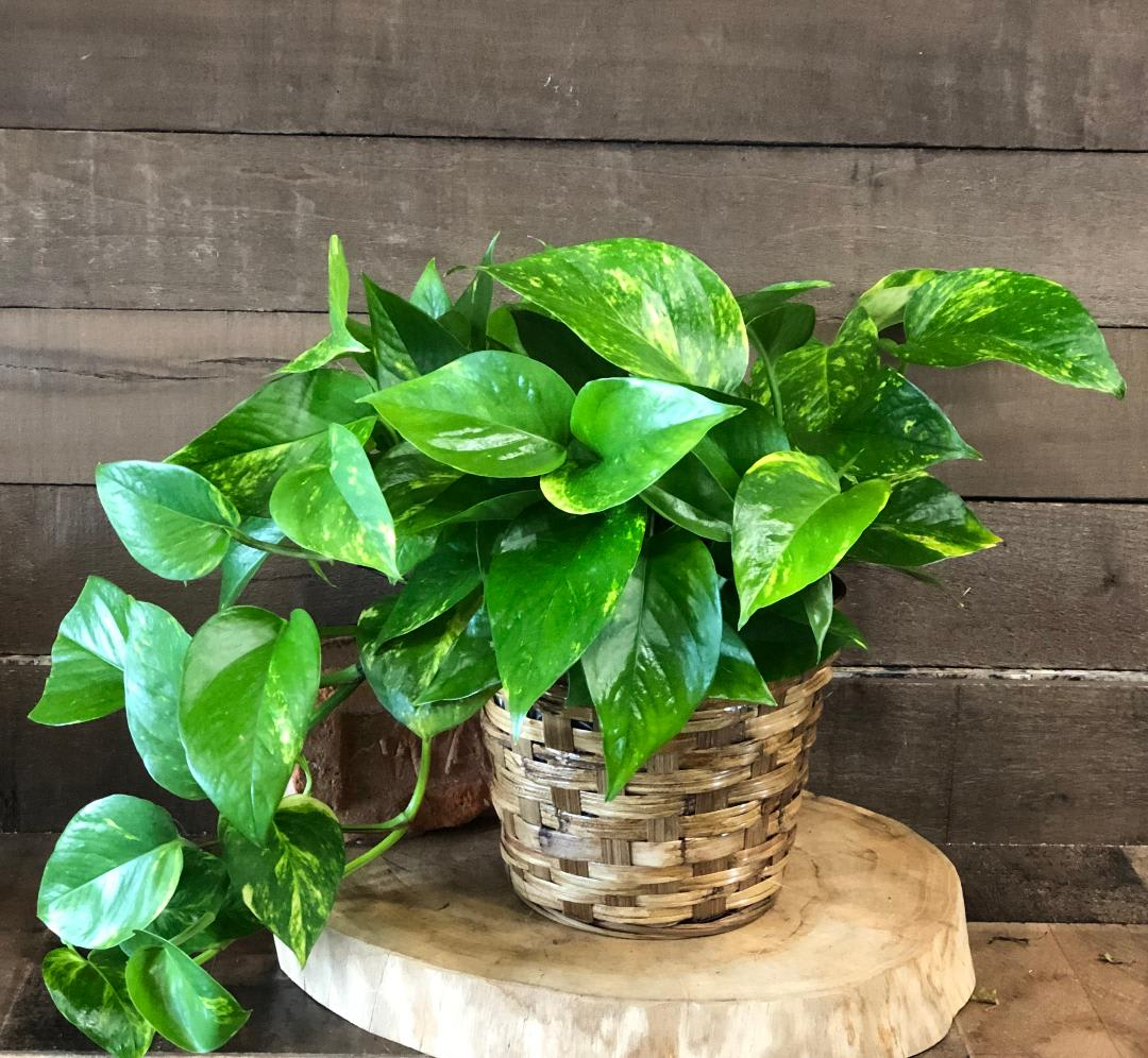 Pothos Ivy in Waco, TX | Baylor Flowers
