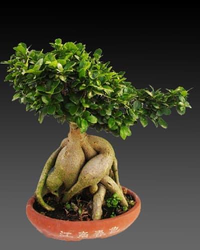 Elegant Bonsai Tree In Brookline Ma Ec Florist