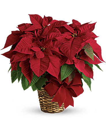 Red Poinsettia Plant In Sterling Va Gardelina Flowers