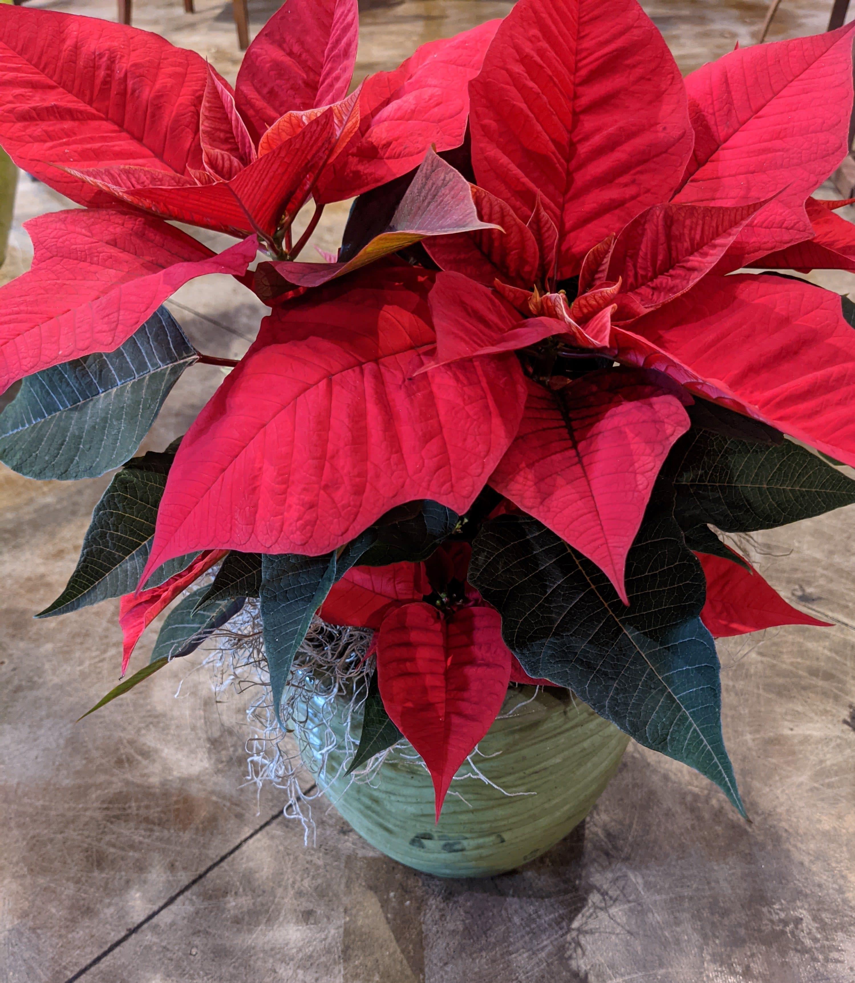 Classic Red Poinsettia In Atlanta Ga 2000ad Inc