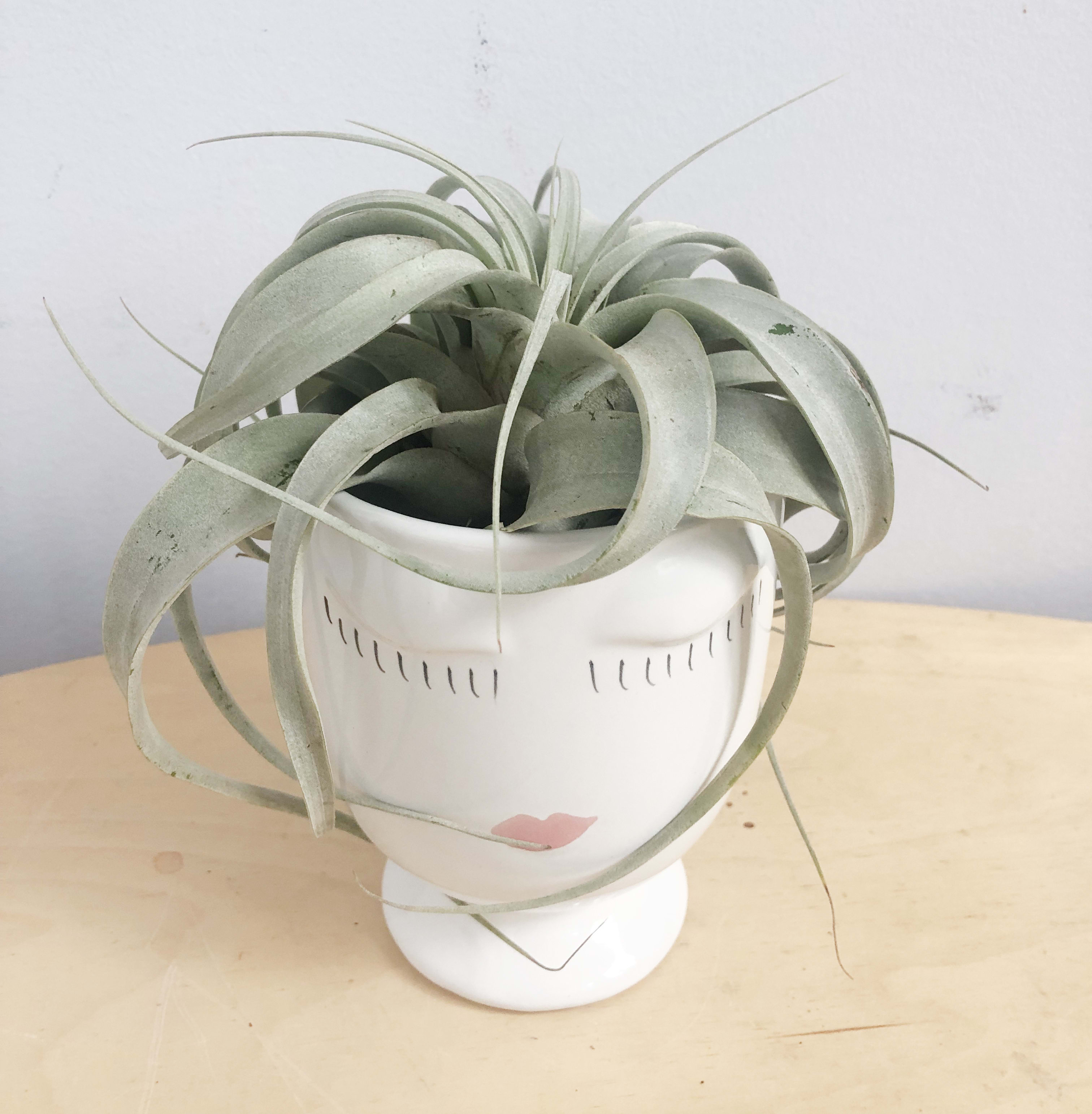 Air Plants Queen By Sunny Florists