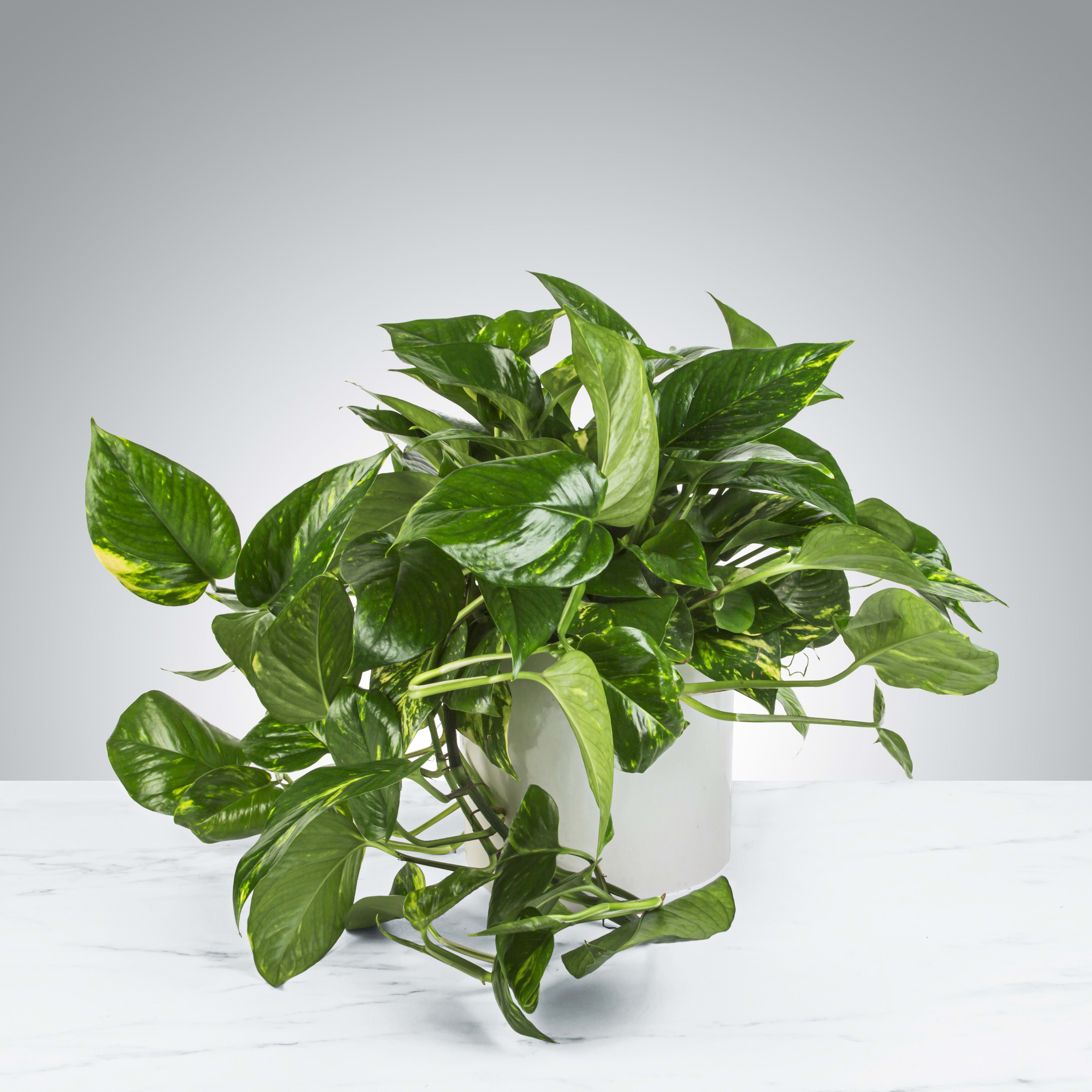 Pothos Plant In Charlotte Nc Bookout Blooms
